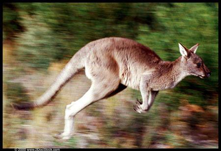 kangaroo_jumping